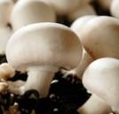 champignon-de-couche