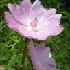 « Malva moschata fleur » par Drojat — Travail personnel. Sous licence Creative Commons Attribution-Share Alike 3.0 via Wikimedia Commons - http://commons.wikimedia.org/wiki/File:Malva_moschata_fleur.jpg#mediaviewer/Fichier:Malva_moschata_fleur.jpg