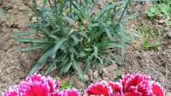 «Gartennelke 1». Sous licence Creative Commons Attribution-Share Alike 1.0 via Wikimedia Commons - http://commons.wikimedia.org/wiki/File:Gartennelke_1.jpg#mediaviewer/Fichier:Gartennelke_1.jpg