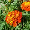 « French marigold ». Sous licence Creative Commons Attribution-Share Alike 3.0 via Wikimedia Commons - http://commons.wikimedia.org/wiki/File:French_marigold.jpg#mediaviewer/Fichier:French_marigold.jpg