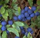 prunelle