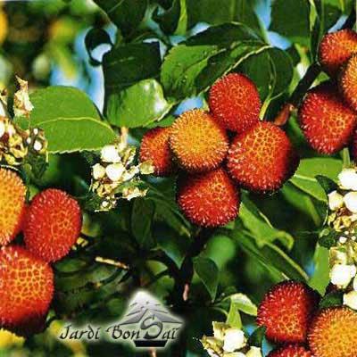 fruits herbes epices herbes aromatiques arbousier bienfait nutrition et recette. Black Bedroom Furniture Sets. Home Design Ideas