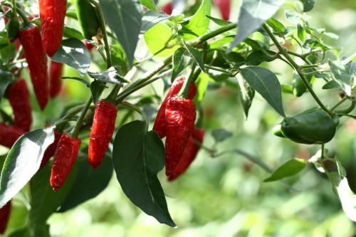 Epices herbes epices piment de cayenne bienfait nutrition et recette - Piment de cayenne culture ...